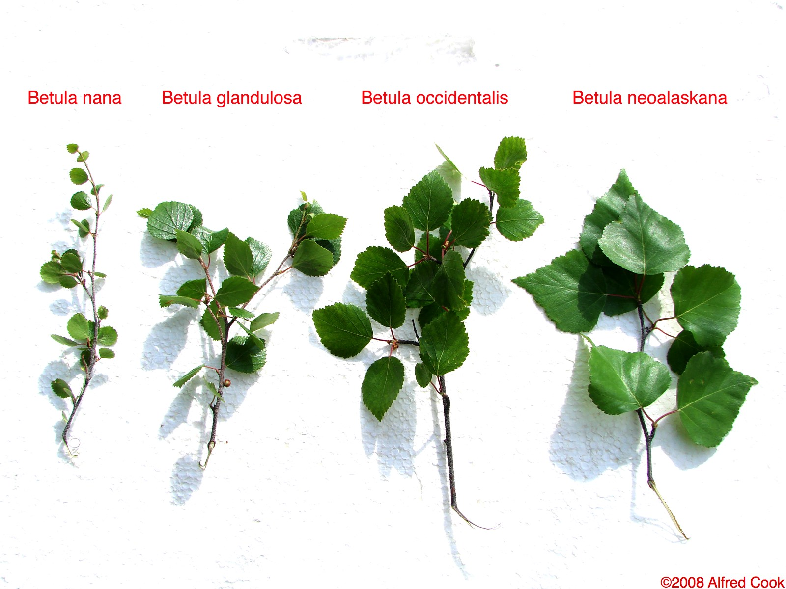 Displaying 17> Images For - Birch Tree Branches And Leaves...
